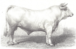 19th century Charolais bull breed